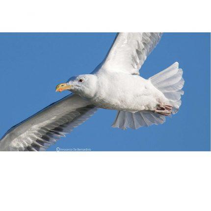 Ornitologi Volontari